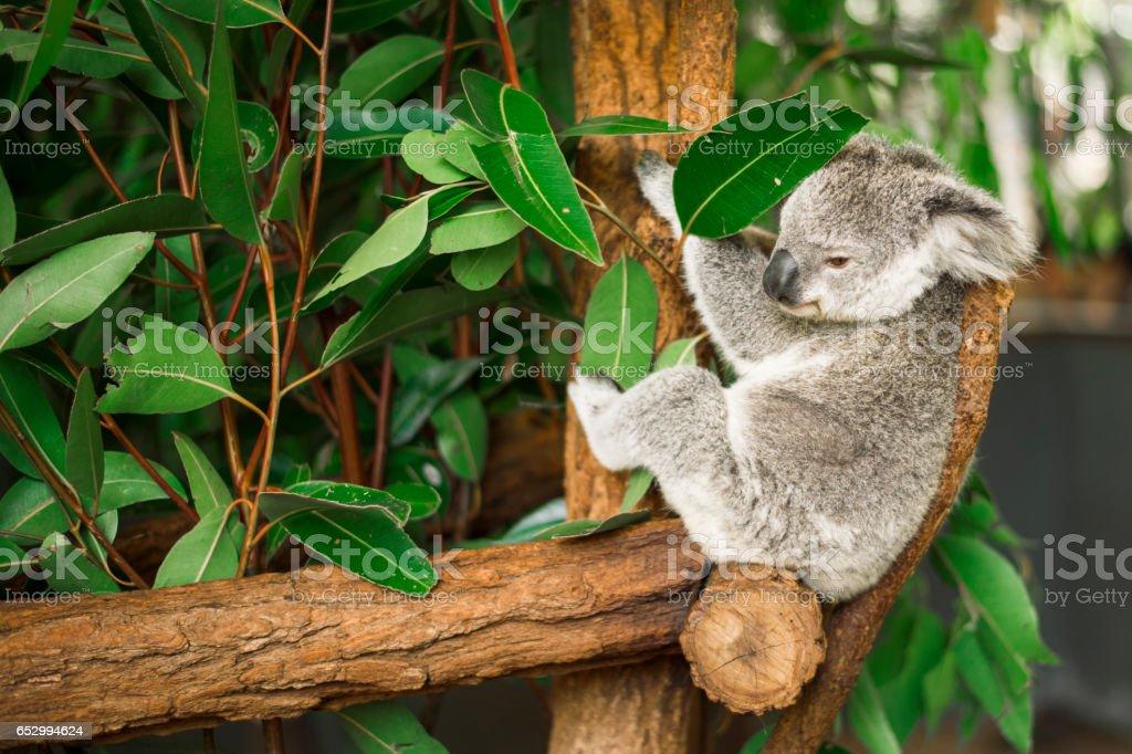 Koala in a eucalyptus tree. stock photo