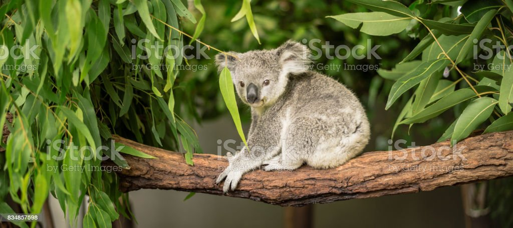 Koala in a eucalyptus tree. stock photo