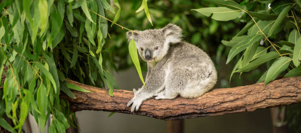 Koala in einem Eukalyptusbaum. – Foto