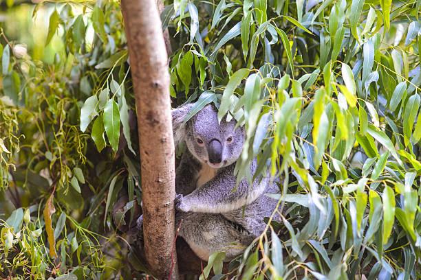 Koala in a tree stock photo