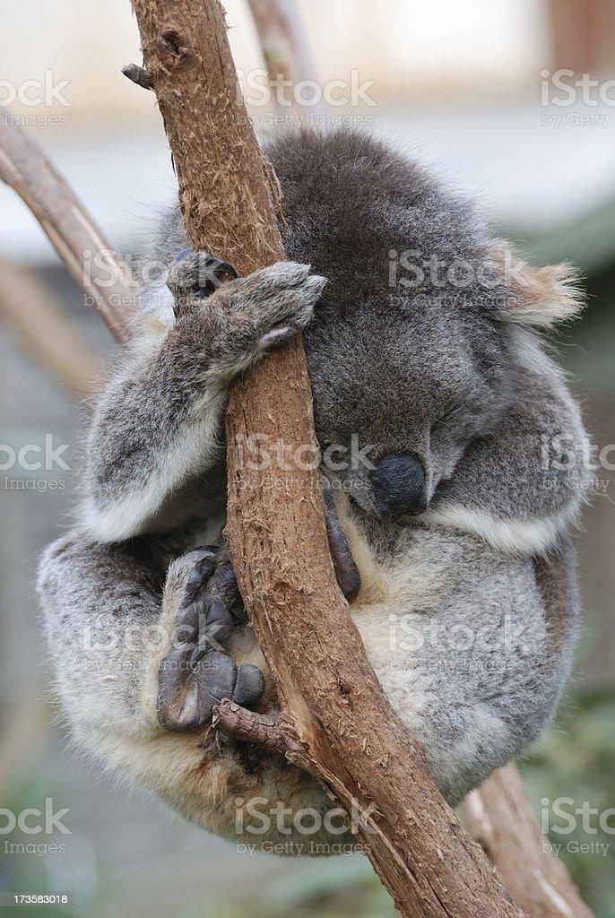 Koala in Eucalpytus royalty-free stock photo