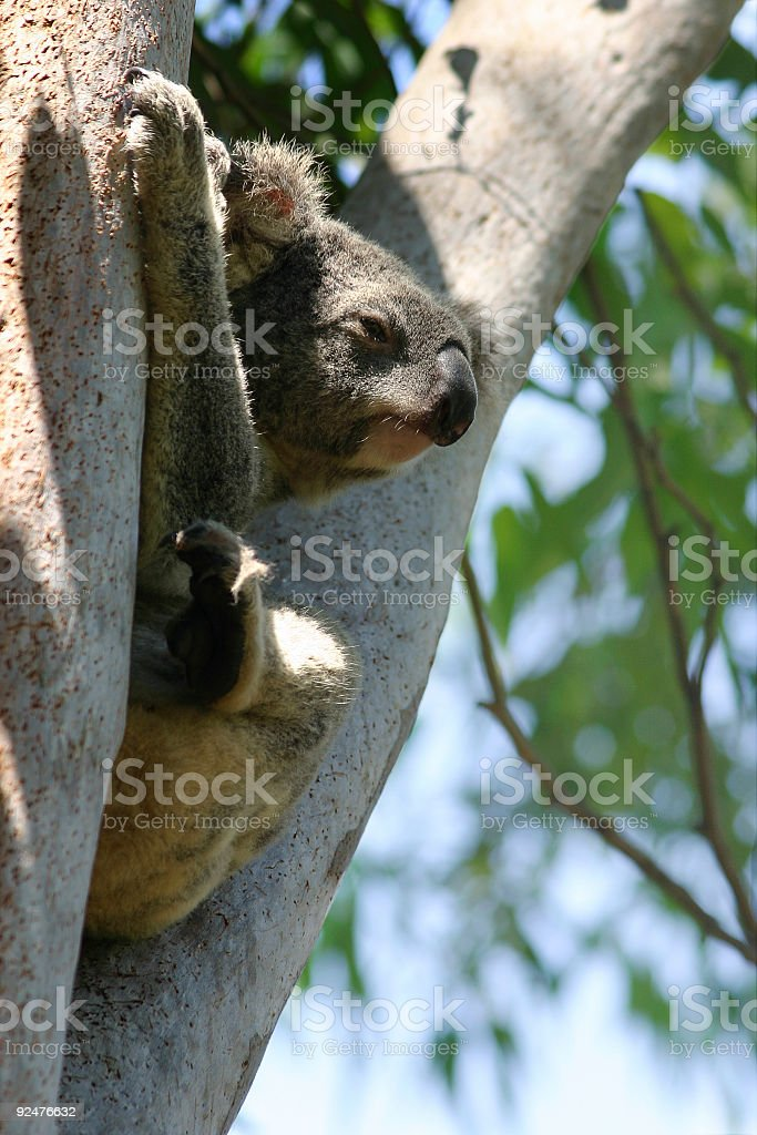 Koala in the Fork of a Tree royalty-free stock photo