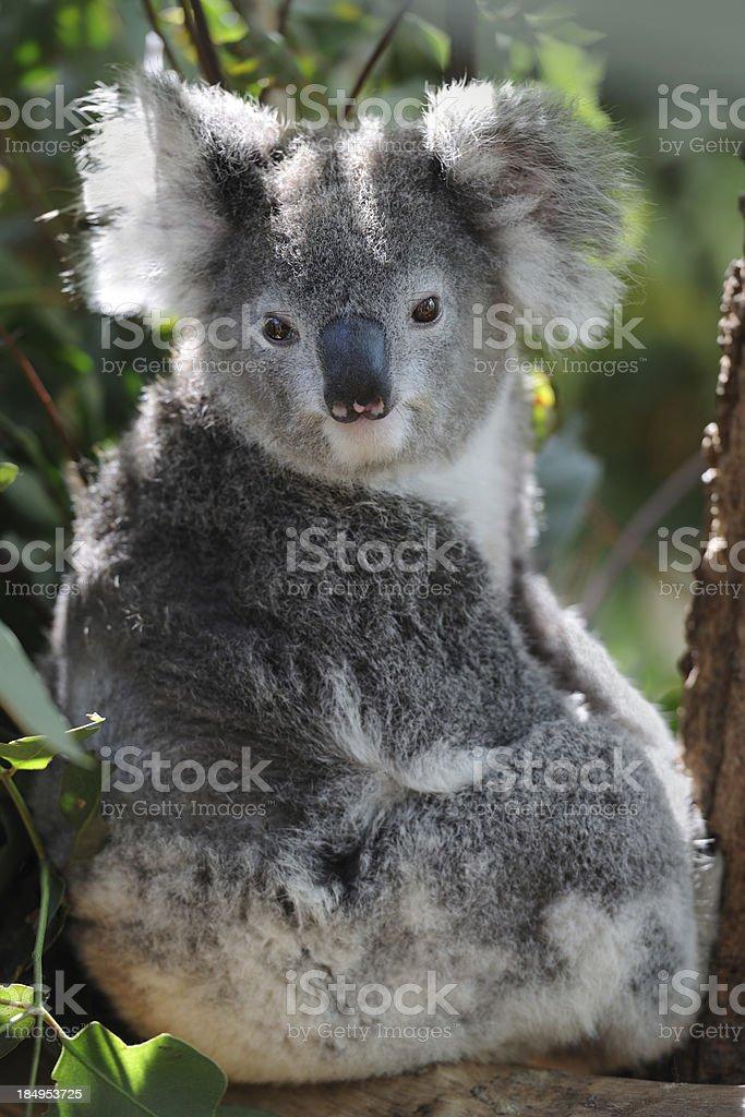 Koala in Wildlife (XXXL) royalty-free stock photo