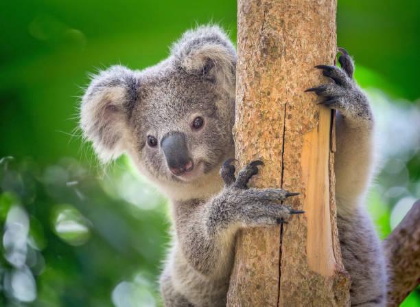 Koala is on the tree. Young koala eating eucalyptus leaves on the tree. koala stock pictures, royalty-free photos & images