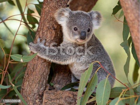 Koala joey in an Australian wildlife sanctuary hugs a tree branch surrounded by eucalyptus leaves