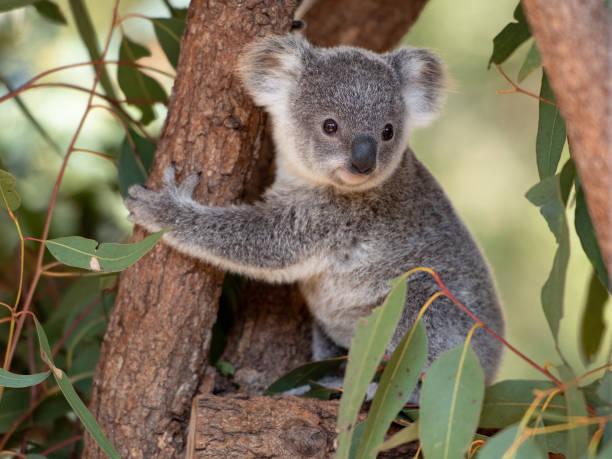 Koala joey hugs a tree branch surrounded by eucalyptus leaves Koala joey in an Australian wildlife sanctuary hugs a tree branch surrounded by eucalyptus leaves koala stock pictures, royalty-free photos & images