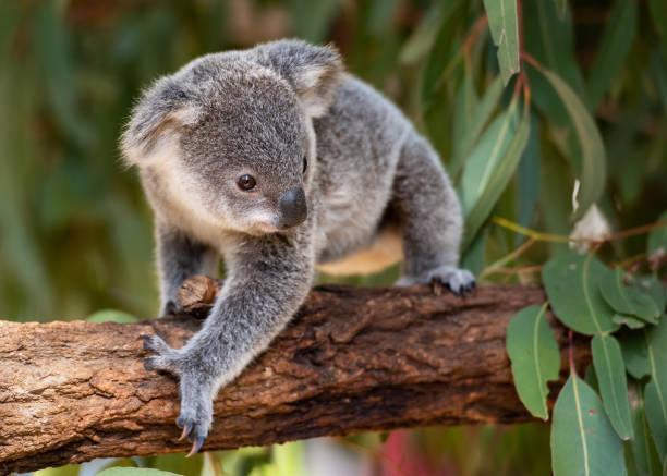 Koala joey in an Australian wildlife sanctuary walks on a tree branch stock photo