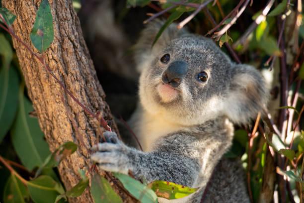 Koala joey looks for eucalyptus leaves to eat stock photo