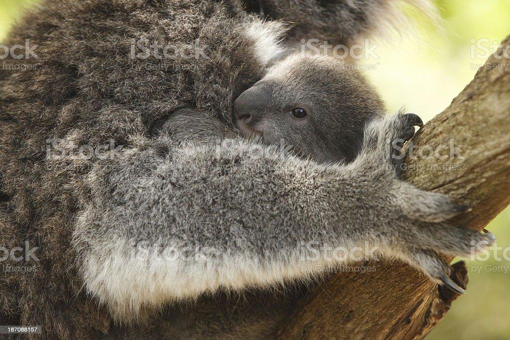 Koala Joey royalty-free stock photo
