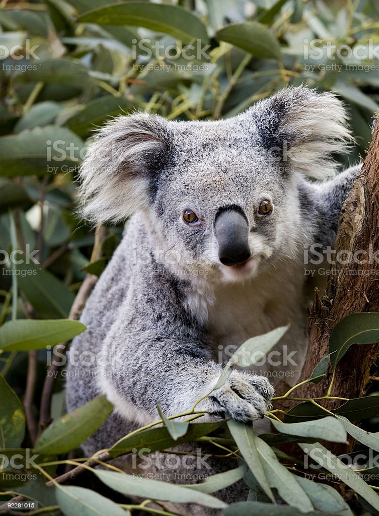 koala joey stock photo