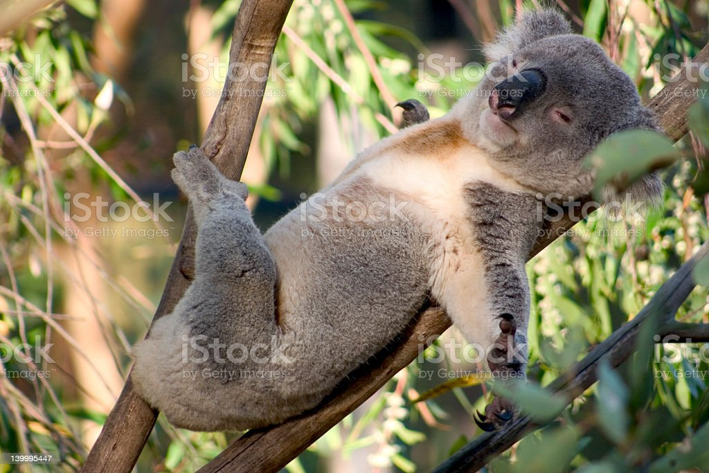 A koala lazing on a branch of an eucalyptus tree stock photo