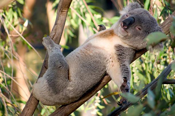 Faul Koala – Foto