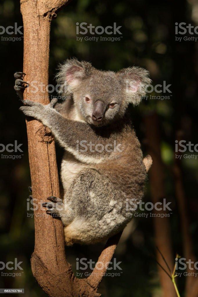 Koala Looking at Camera foto de stock royalty-free