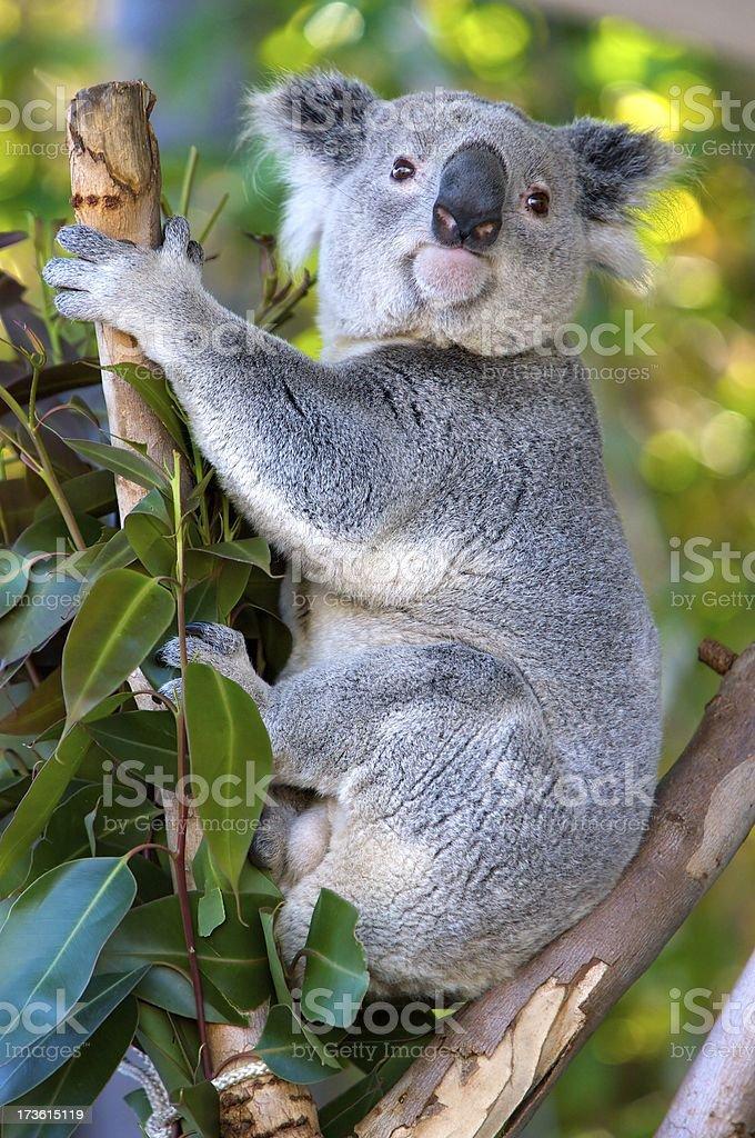 Koala looking at spectators royalty-free stock photo