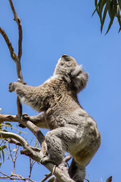 koala auf dem grün blätter von einem eukalyptusbaum, great otway national park - gedehnte ohren stock-fotos und bilder