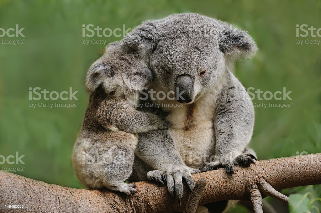 Koala mom stock photo