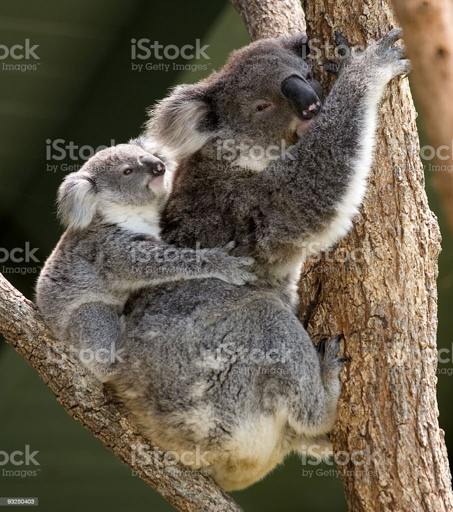 Koala mother and baby royalty-free stock photo