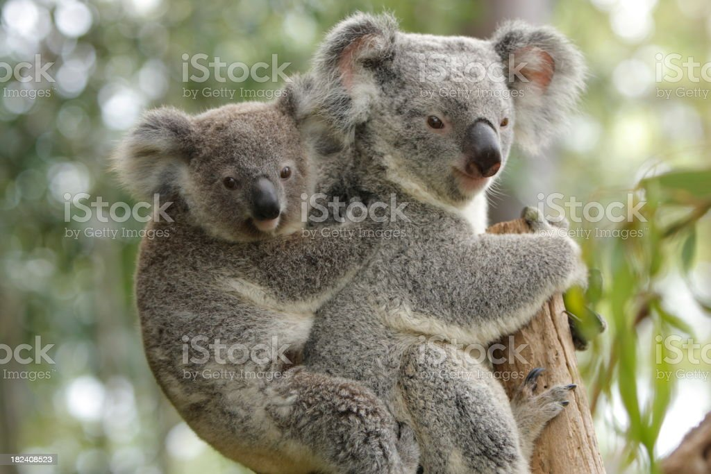 Koala Mother and Child stock photo