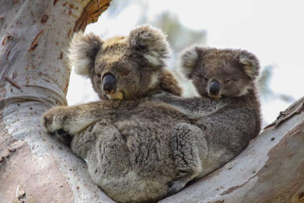Koala-Mutter mit Baby Joey auf dem Rücken sitzen in einem Eukalyptusbaum vor, Great Otway National Park – Foto