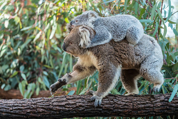 Koala mother with joey piggyback walking on eucalyptus trunk, Australia​​​ foto