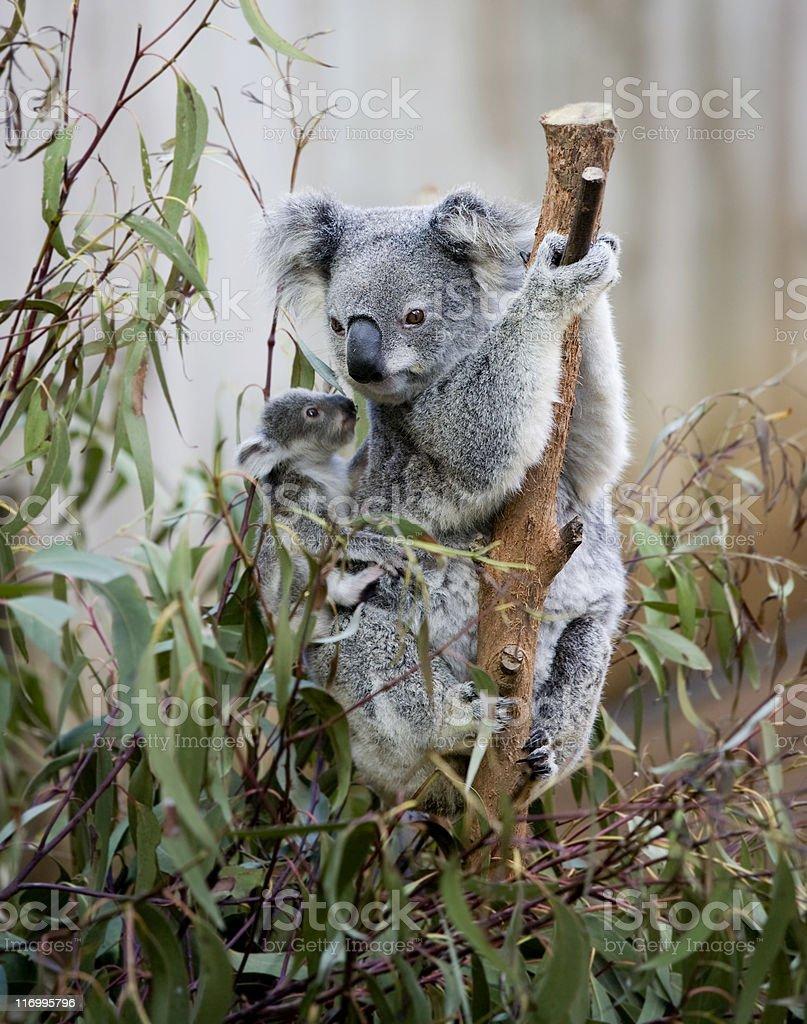 koala mum and joey stock photo