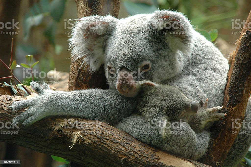 Koala mum with baby royalty-free stock photo
