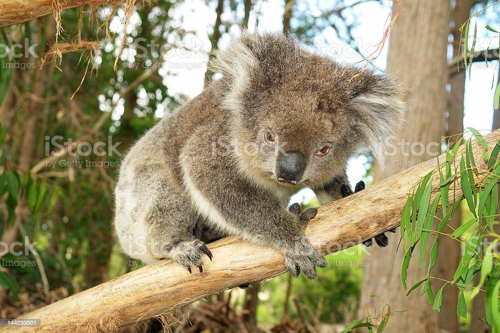 Koala on a Limb royalty-free stock photo