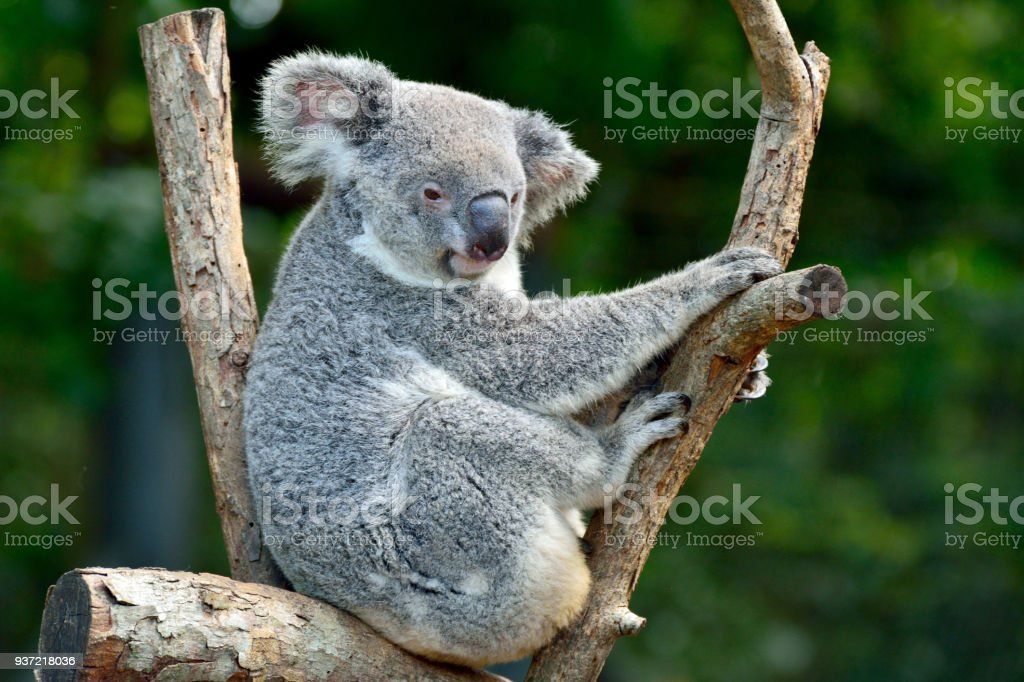 Koala on eucalyptus tree stock photo