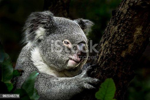 Portrait of koala on eucalyptus tree