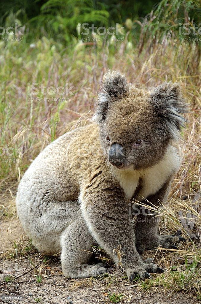 Koala on Great Ocean Road royalty-free stock photo
