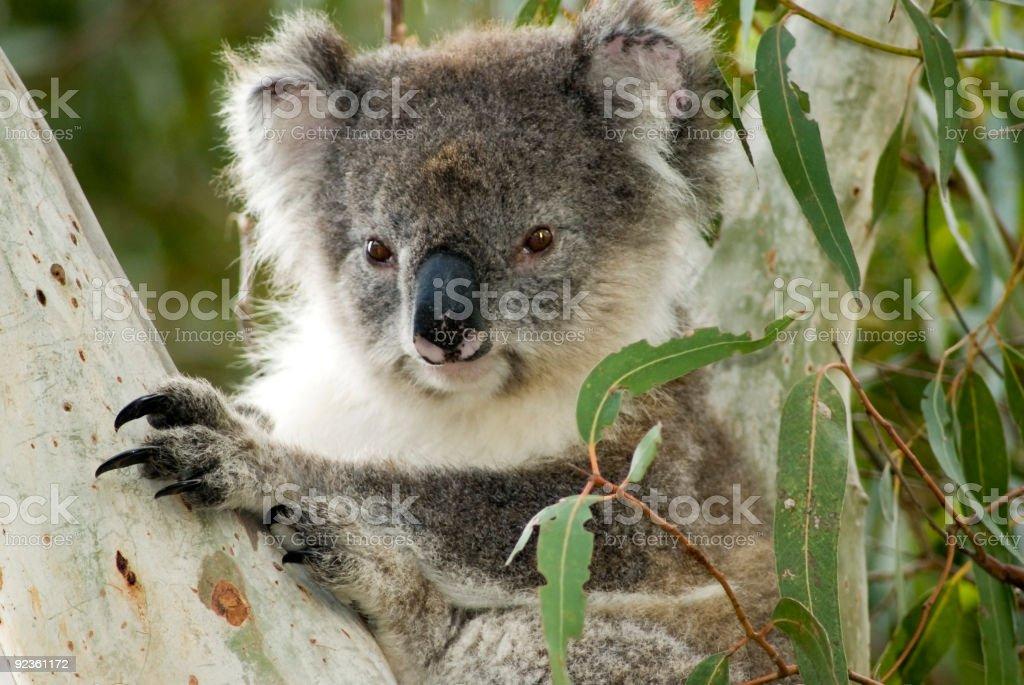 Koala on Kangaroo Island, Australia royalty-free stock photo