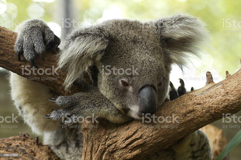 Koala on tree royalty-free stock photo