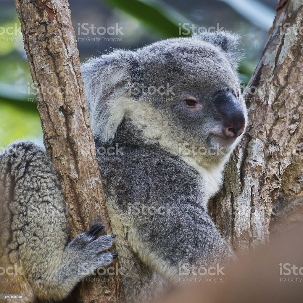 Koala on tree royalty-free stock photo