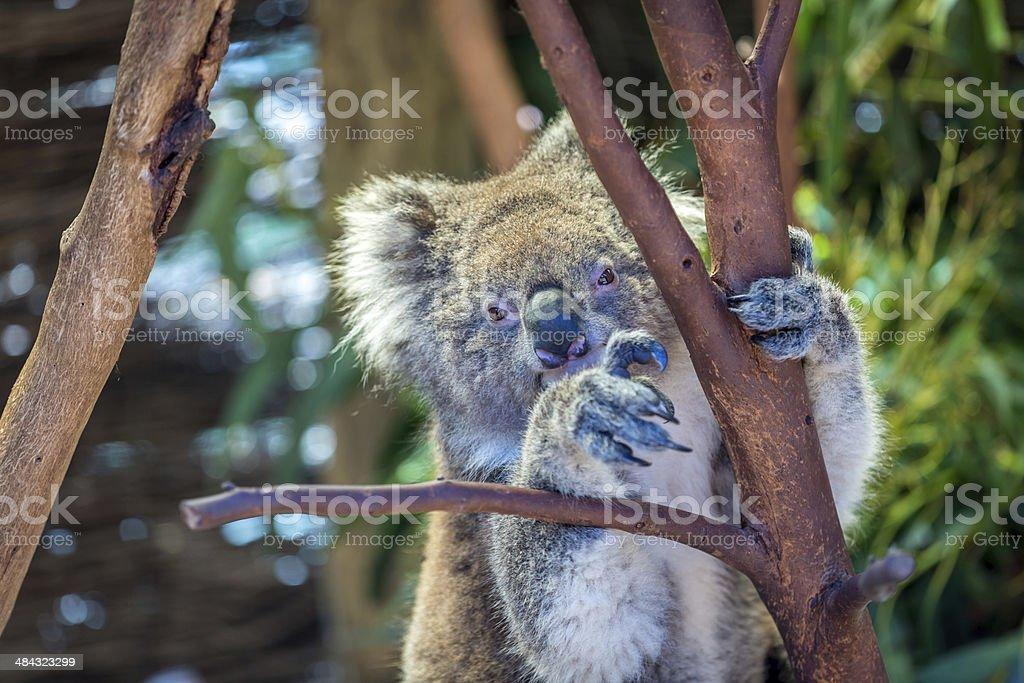 Koala Perched in Tree royalty-free stock photo