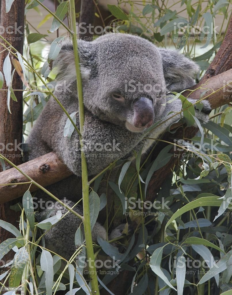 Koala - Phascolarctos cinereus royalty-free stock photo