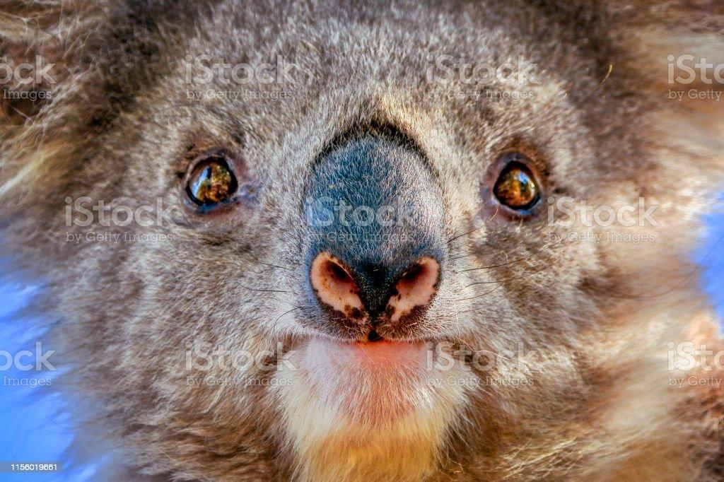 Koala (Phascolarctos cinereus) - Royalty-free Alertness Stock Photo