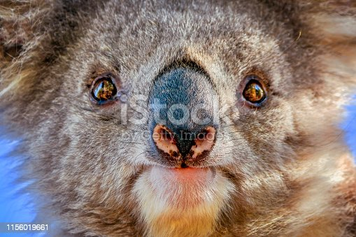 Australian native Koala close up on Raymond Island in the Gippsland Lakes