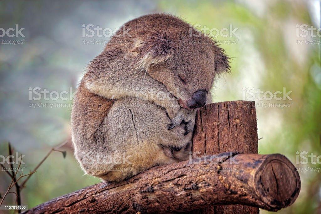 Koala (Phascolarctos cinereus) - Royalty-free Animal Stock Photo