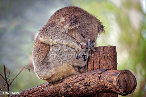 Sleeping Australian native Koala close up