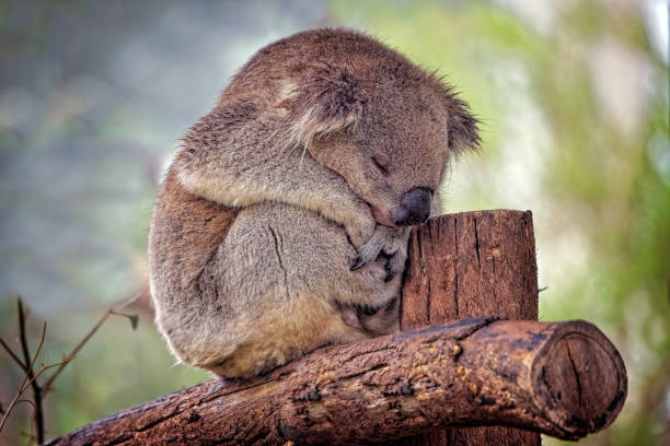 Koala (Phascolarctos cinereus) Sleeping Australian native Koala close up koala stock pictures, royalty-free photos & images