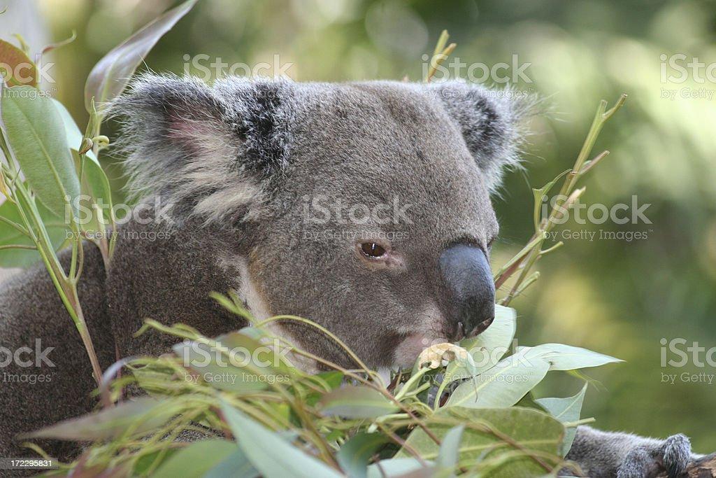 koala - Royalty-free Animal Stock Photo