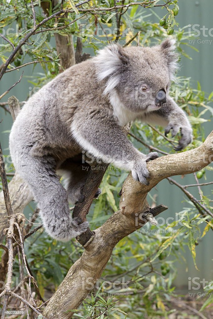 Koala royalty-free stock photo