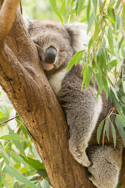 Koala Koala koala stock pictures, royalty-free photos & images
