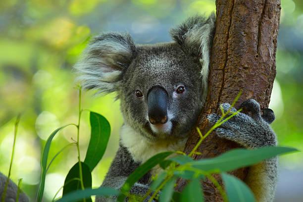 Koala – Foto