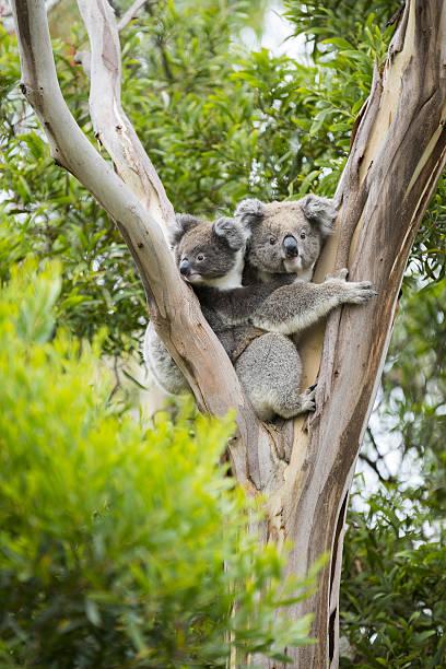 Koala Koala with joey koala stock pictures, royalty-free photos & images
