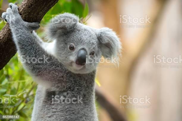 Koala picture id652385142?b=1&k=6&m=652385142&s=612x612&h=utimczcakv2sqgh4cdmrbbst19onvqjecbgijzt75g4=