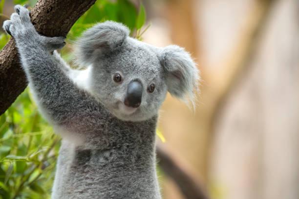 Koala Female Phascolarctos cinereus koala stock pictures, royalty-free photos & images