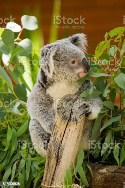 Koala picture id827006508?b=1&k=6&m=827006508&s=612x612&h=cear0lcodwlr dkrbqsqf6lkclwpy7r23mmawsnyxq0=