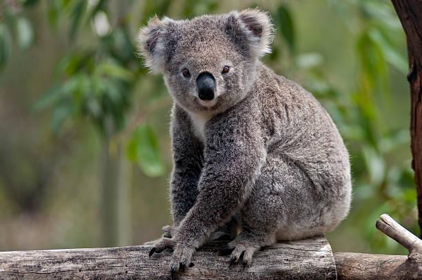 Koala Porträt am Stamm, Australien – Foto