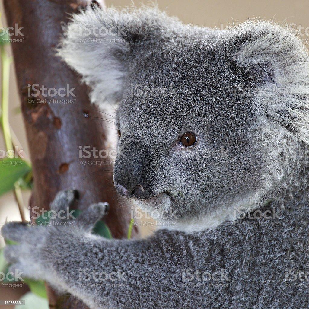 Koala Portrait royalty-free stock photo